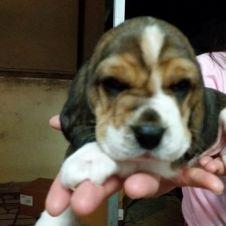 cuccioli beagle Latina