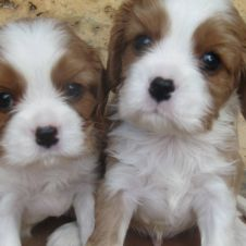 Cuccioli di Cavalier King disponibile Frosinone