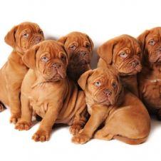 Disponibili Cuccioli DOGUE DE BORDEAUX Teramo