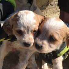 vendita cuccioli di Breton Chieti