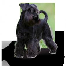 vendo cuccioli di schnauzer medi neri Campobasso