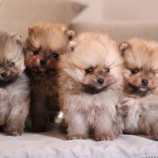 Cuccioli di Spitz nano-Volpino di Pomerania Caserta