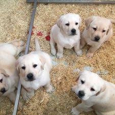 Vendita cuccioli di labrador da expo alta genealogia Caserta