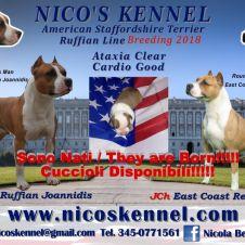 Amstaff - American Staffordshire Terrier Caserta