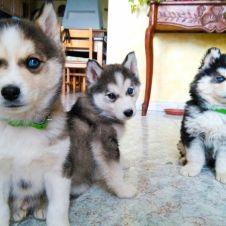 3 bellissimi e purissimi cuccioli di Husky pedigree passaporto libretto sanitario microchip Caserta