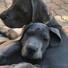 Cuccioli di Alano Blu Napoli