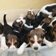 Cuccioli Beagle Napoli