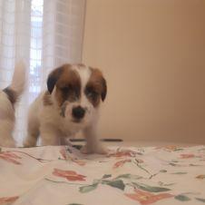 Disponibili cuccioli di Jacke Russell Terrier  Napoli