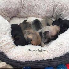 Cuccioli Chihuahua pelo corto con pedigree Avellino