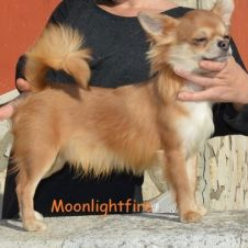 Chihuahua maschio con pedigree Avellino