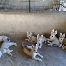 Cuccioli di Siberian Hushy Avellino