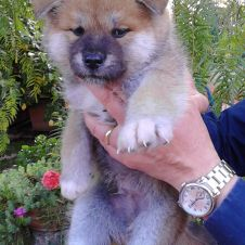 Vendo cucciolo akita inu Foggia