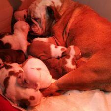 Cuccioli di Bulldog Inglese  Bari