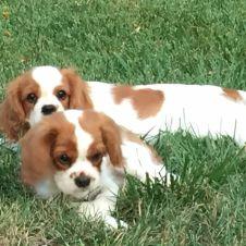 Cuccioli con pedigree Bari