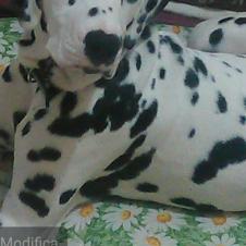 Si accettano prenotazioni per cuccioli di dalmata  Bari