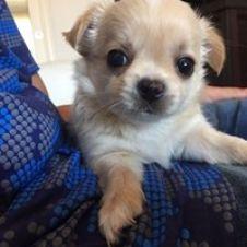 Cuccioli di Chihuahua a pelo lungo Lecce