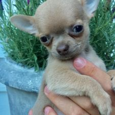 Cuccioli dolce e bella chihuahua toy Matera