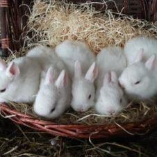 coniglietti nani d'angora bianchi  Vibo Valentia