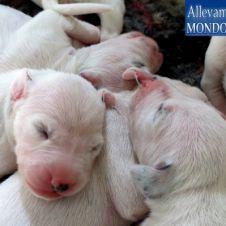 Prestigiosi cuccioli dalmata con pedigree Cosenza