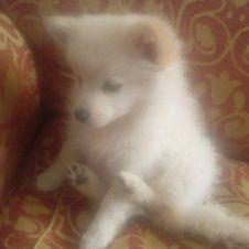 vendesi cuccioli di volpini di pomerania Cosenza