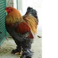vendo polli brama giganti bianco columbia e vari colori Cosenza
