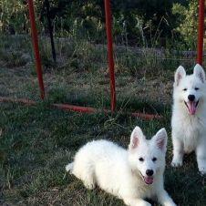 cuccioli pastore svizzero a pelo lungo Cosenza