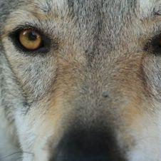 cane lupo cecoslovacco Cosenza