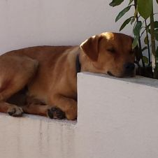 regalo cane di taglia media incrocio con labrador  Catanzaro