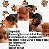cuccioli pinscher Reggio di Calabria