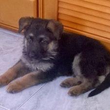 cucciolo pastore tedesco Reggio di Calabria