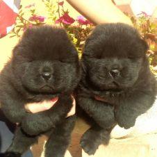 Cuccioli di Chow Chow Agrigento