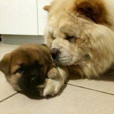 Chow Chow cuccioli morbidissimi Siracusa