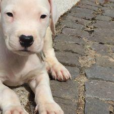 Cuccioli Dogo Argentino  Nuoro