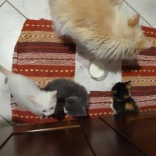 Regalo gattini incrocio Sacro di Birmania Oristano