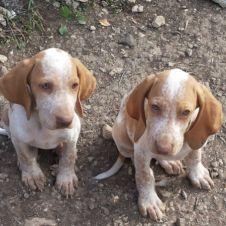 Bracco italiano cuccioli Oristano