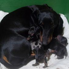 cuccioli bassotto a pelo corto Monza e della Brianza