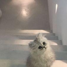 vendo cucciole di persiano chinchilla sikver e smoke Monza e della Brianza