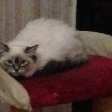 Cucciola di gatto siberiano Monza e della Brianza