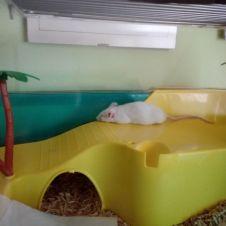 Regalo topolino bianco Varese