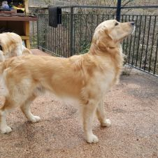Cuccioli di Golden retriever  Varese
