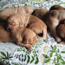 Cucciole stupende di Golden Retriever a como appena nate  Como