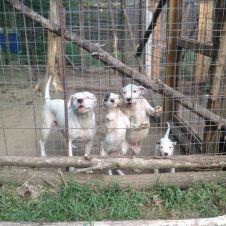 Dogo Argentino cuccioli Como