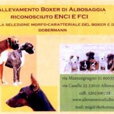 Allevamento di Boxer di Albosaggia Sondrio