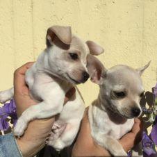 Cuccioli di Chihuahua Sondrio