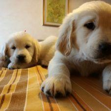 Cuccioli Golden Retriever Sondrio