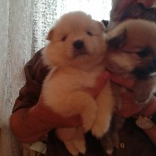 Vendesi bellissimi cuccioli spitz toy Milano