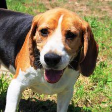 Big O  - Beagle Milano