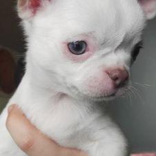 Chihuahua con pedegree pronti subito  Milano