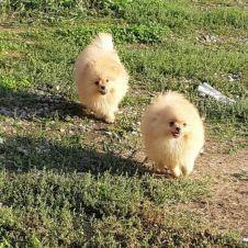Cuccioli di Volpino di Pomerania con PEDIGREE Milano