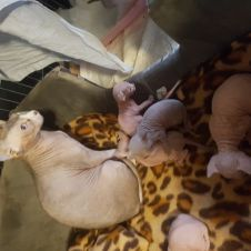 Disponibile cucciolo di gatto Canadian sphynx e blue point Milano